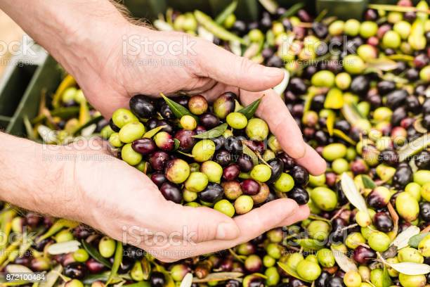 Close up of farmer holding harvested olives picture id872100464?b=1&k=6&m=872100464&s=612x612&h=ursnoqnfcwgbvh6jbvnduc07xazsafqcyw dlumzsiq=