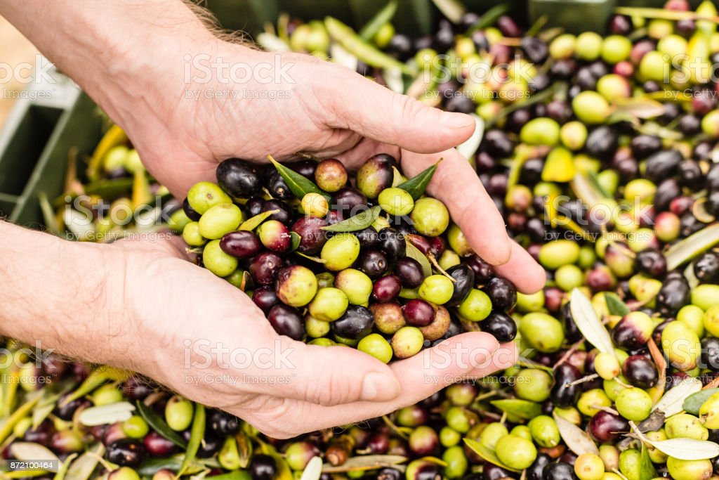 Close up of farmer holding harvested olives stock photo