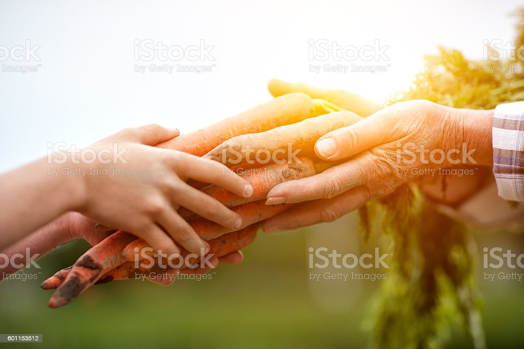 Close up of farmers hands with carrots stock photo