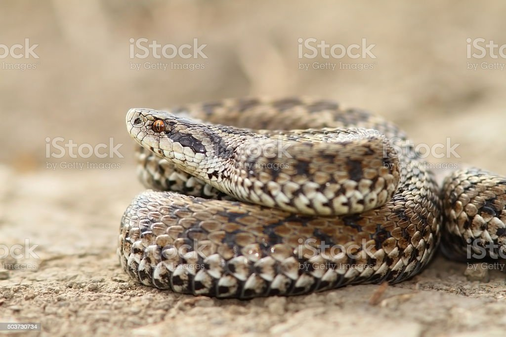 close up of female meadow viper stock photo