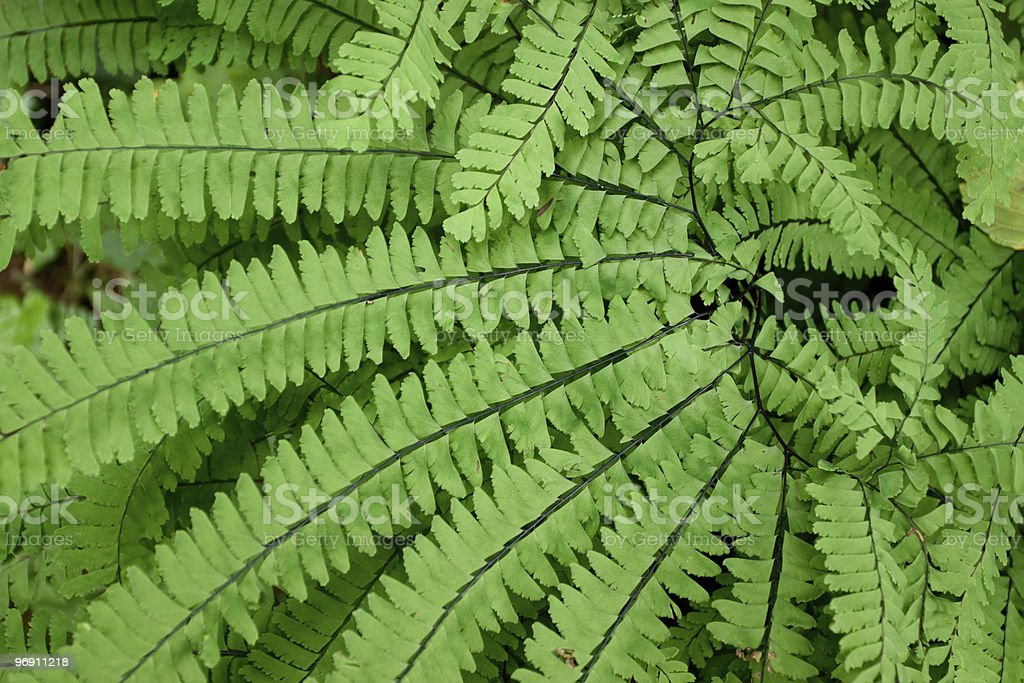 Close up of fern royalty-free stock photo