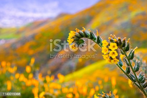 Close up of Fiddleneck (Amsinckia tesselata) wildflowers blooming on the hills of Walker Canyon, Lake Elsinore, California