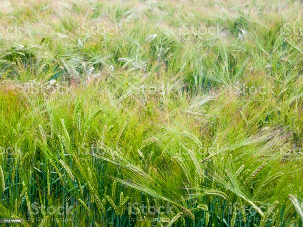 close up of field of crop growing outside stock photo