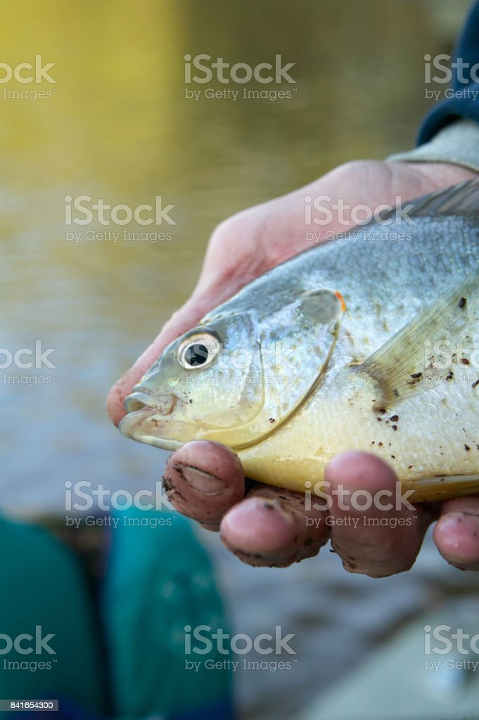 Close up of fisherman holding a freshwater bream stock photo