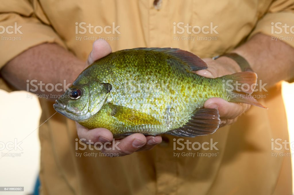 Close up of fisherman holding an alive Bluegill stock photo