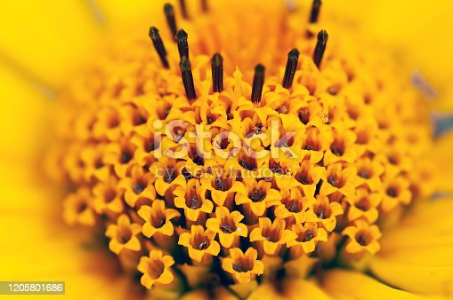 Close up of florets of ox-eye or false sunflower, Heliopsis helianthoides, Wisconsin, USA.