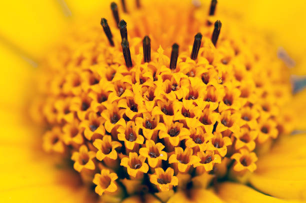 close up of florets of ox-eye or false sunflower, Heliopsis helianthoides stock photo