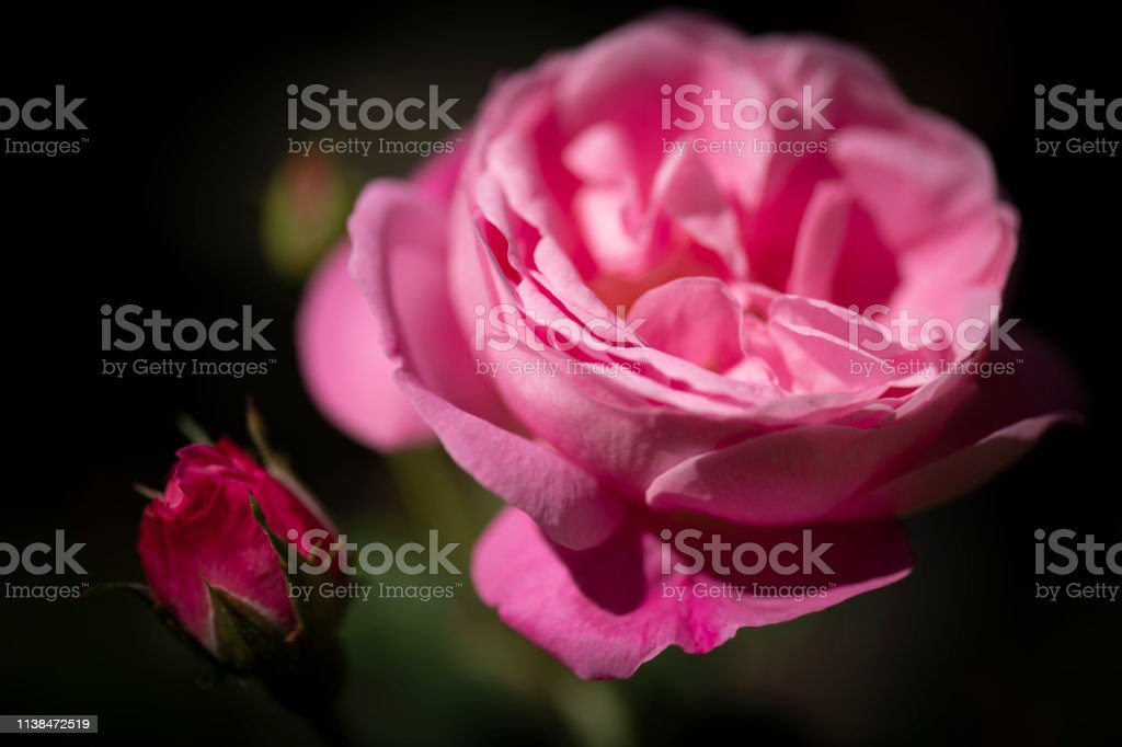 Close up of flowerhead and bud of pink rose bush stock photo