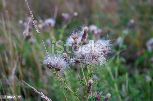 Close up of fluffy white thistle flower heads
