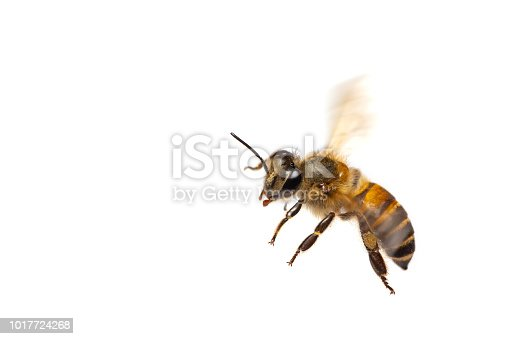 istock A close up of flying bee isolated on white background 1017724268
