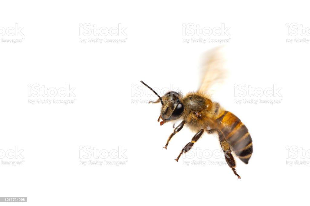 Eine Nahaufnahme von fliegende Biene isoliert auf weißem Hintergrund – Foto
