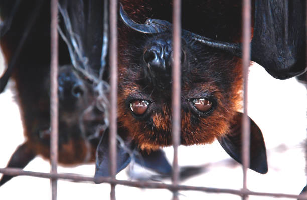 Close up of Flying foxes bats upside down in a cage at a market for food, Sumatra, Indonesia stock photo
