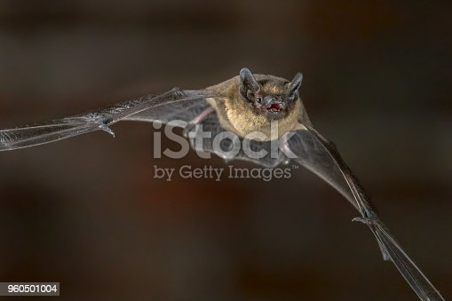 Close up of Nocturnal Pipistrelle bat (Pipistrellus pipistrellus) flying in urban setting on attic of church in darkness at night