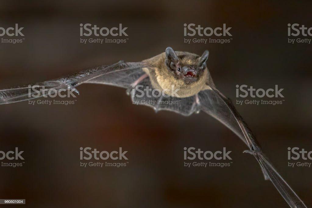 Close up of Flying Pipistrelle bat stock photo