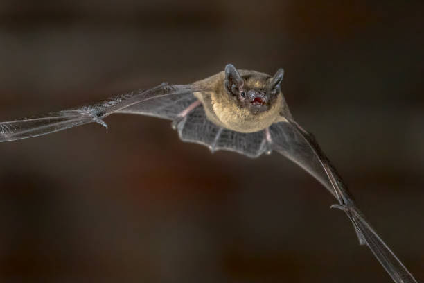 close up of flying pipistrelle bat - mammifero foto e immagini stock