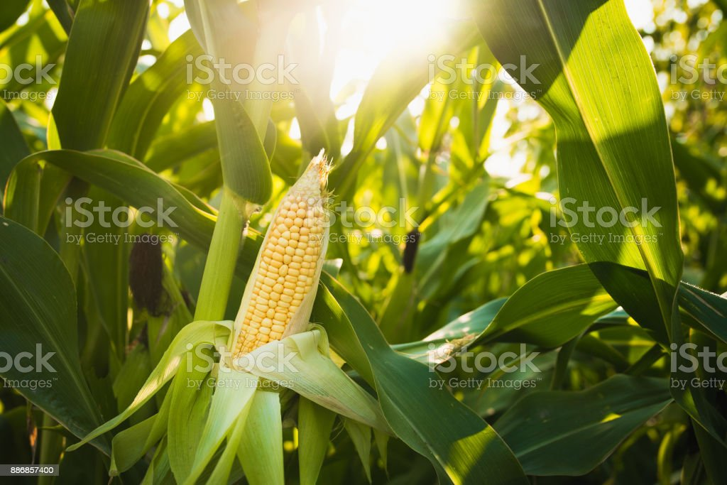 Close up of food corn on green field stock photo