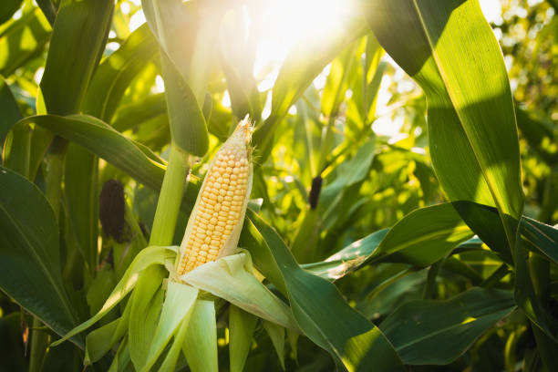 close up of food corn on green field - agricultural field stock photos and pictures