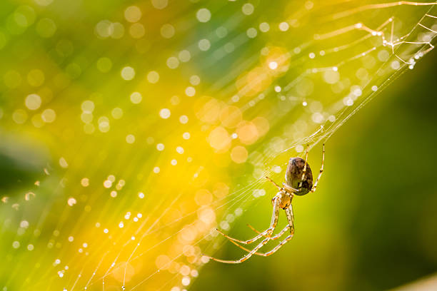 Close up of forest spider in cobweb after rain. stock photo