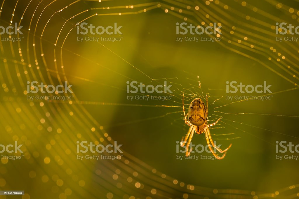 Close up of forest spider in cobweb after rain. foto de stock royalty-free
