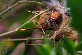 Deep contrast macro of four-spot orb-weaver spider (Araneus quadratus) nest on a plant twig with colorful bokeh background.