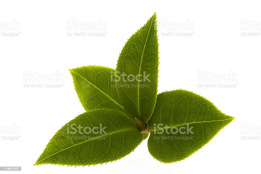 Close up of four tea leaves on branch on white stock photo