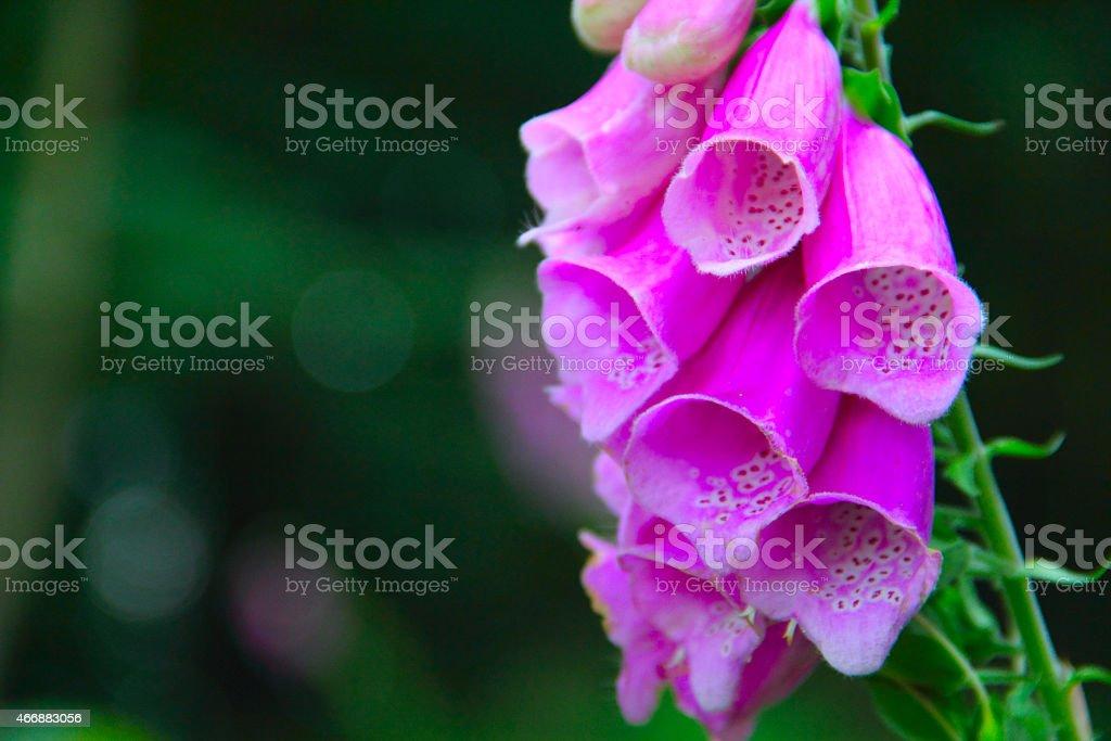 Close up of foxglove bells stock photo