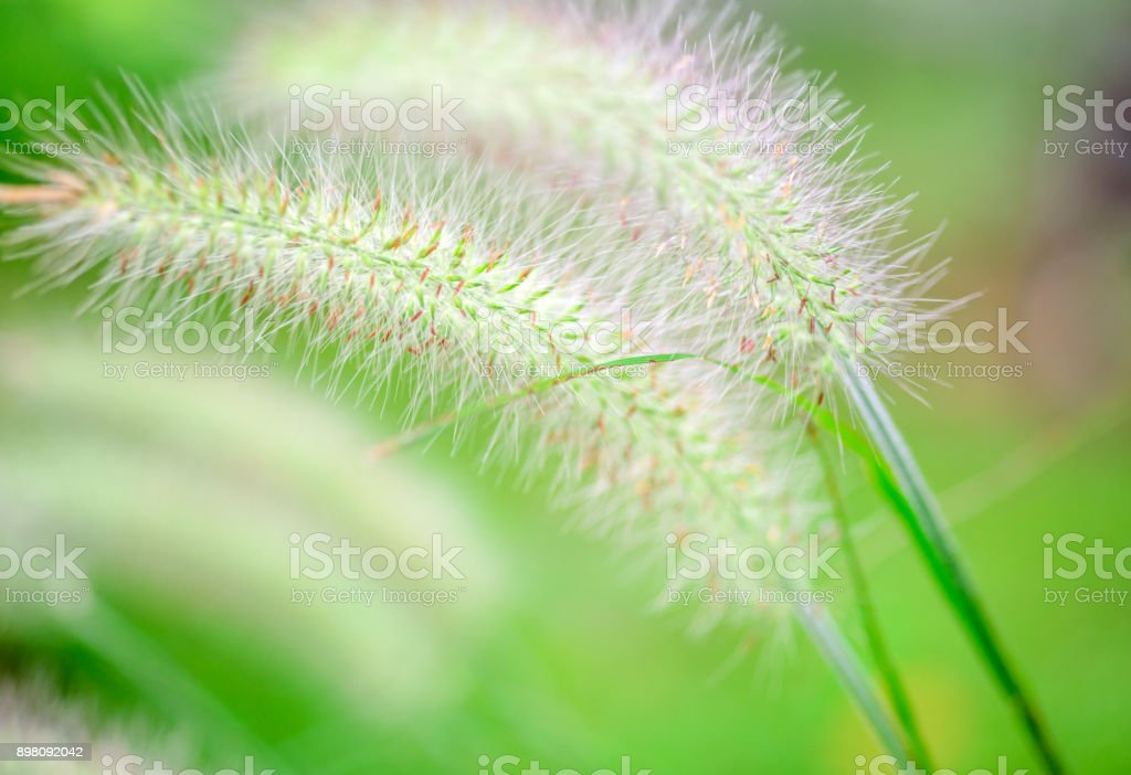 Close up of foxtail grass flower stock photo