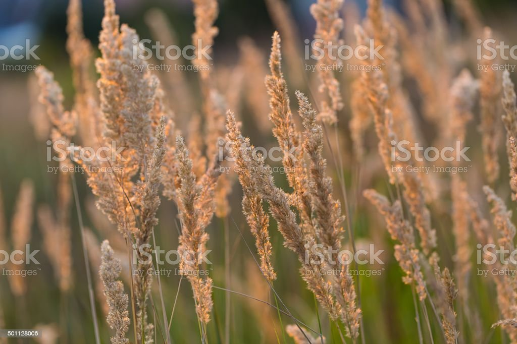 Close up of foxtail grass flowers stock photo