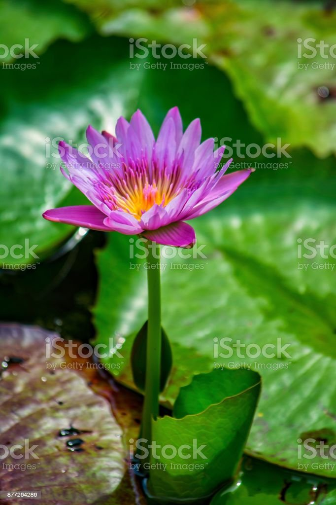 Close up of fragrant water lily stock photo