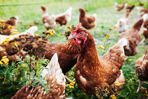 A close up of a flock free range chickens in a farm pen.