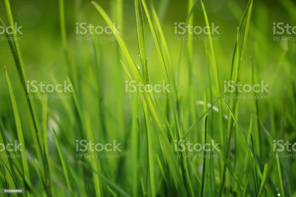Close Up Of Fresh Grass With Water Drops In The Early Morning stock photo
