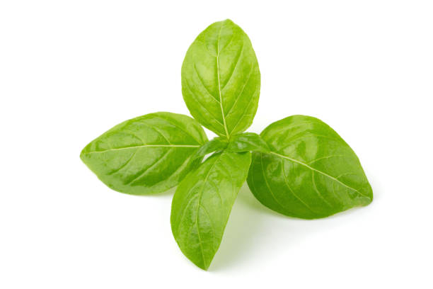 Close up of fresh green basil herb leaves isolated on white background. Sweet Genovese basil. stock photo