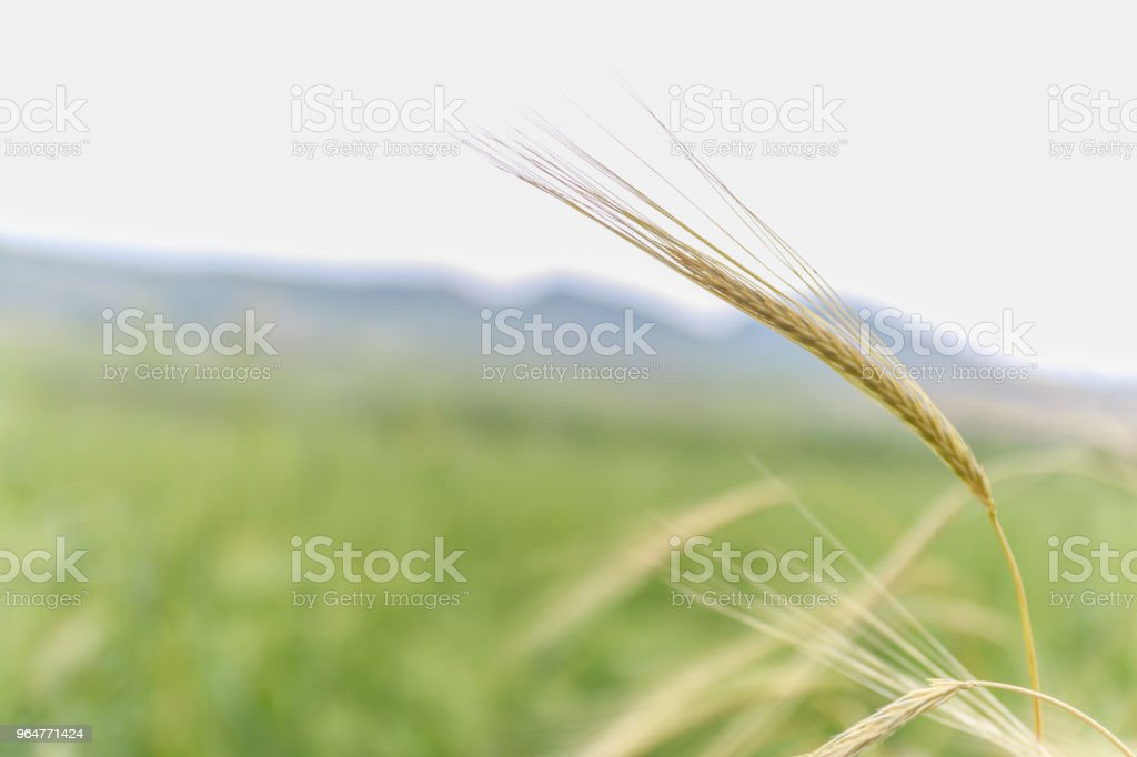 Close up of fresh green wheat in spring. royalty-free stock photo