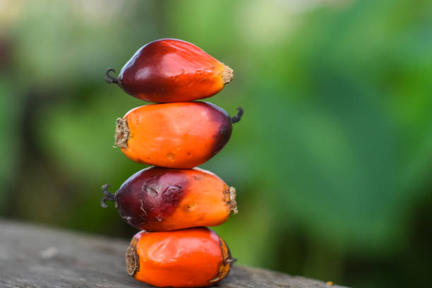 Close Up Of Fresh Oil Palm Seeds. Close Up Of Fresh Oil Palm Seeds. palm oil stock pictures, royalty-free photos & images