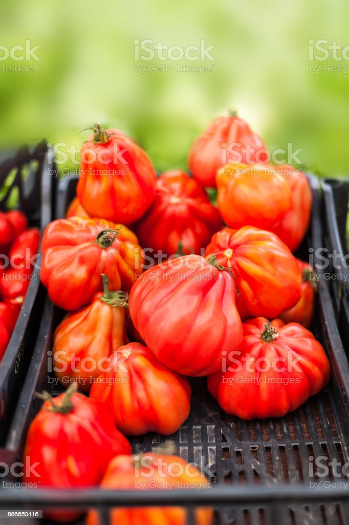 Close up of fresh organic tomatos at outdoor farmers  market. Healthy local food market concept. Variety of tomatoes in a box'n stock photo
