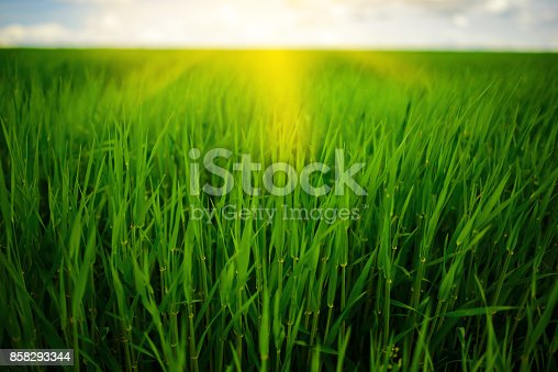 istock Close up of fresh thick grass with water drops in the early morning 858293344