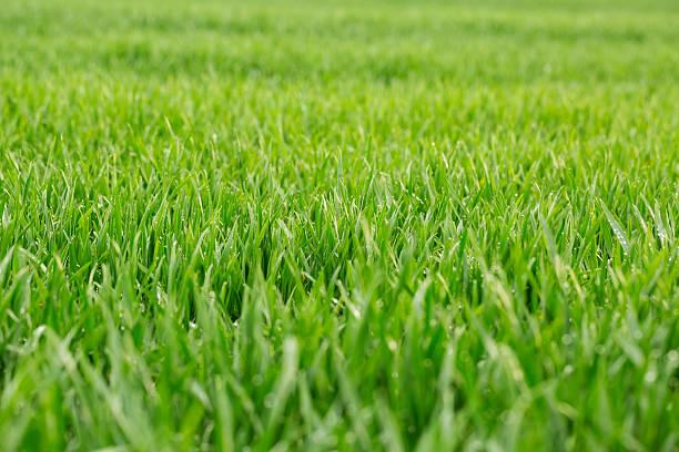 primo piano di erba fresca con gocce d'acqua di grande spessore - filo d'erba foto e immagini stock