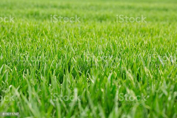 Photo of Close up of fresh thick grass with water drops