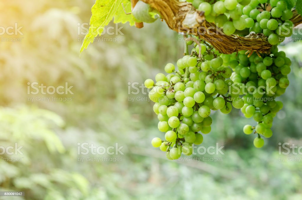Close up of fresh young bunch grapes - foto stock