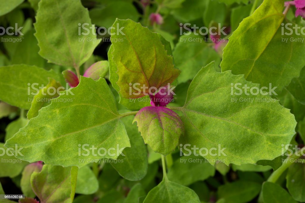 Close up of fresh young raw tree spinach royalty-free stock photo