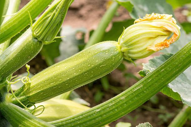 Nahaufnahme von frischen zucchini mit Blumen – Foto
