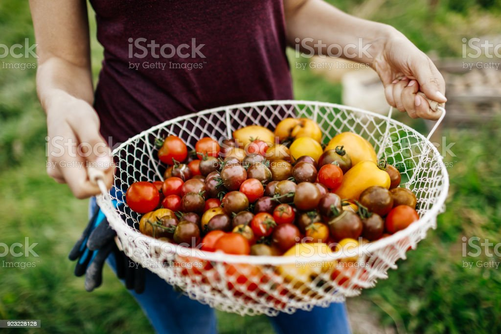 Close Up Of Freshly Harvested Heirloom Tomatoes stock photo