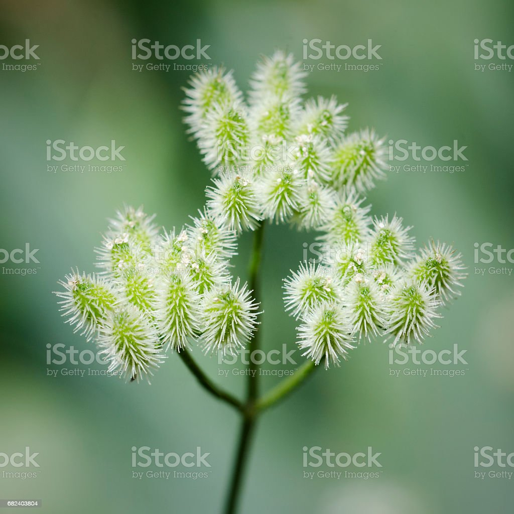 Close up of fruit of hedge parsley, Torilis arvensis royalty-free stock photo