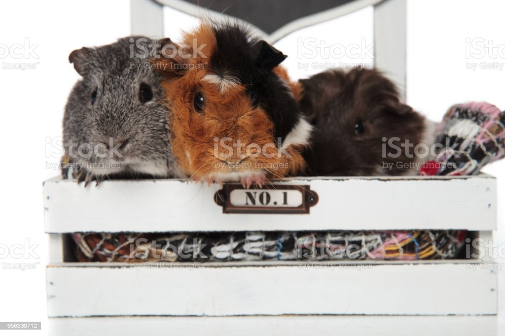 close up of funny guinea pig team in wooden bed stock photo