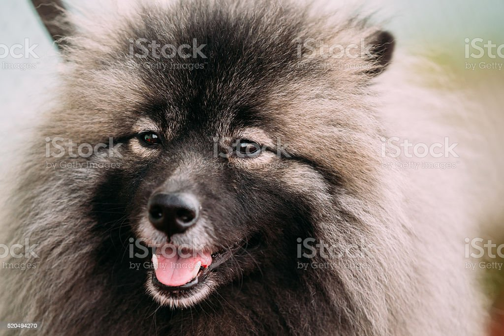 Close Up Of Funny Happy Young Keeshond, Keeshonden Dog stock photo