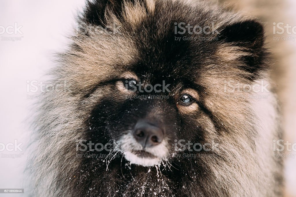 Close up of Funny Young Keeshond, Keeshonden dog in snow stock photo