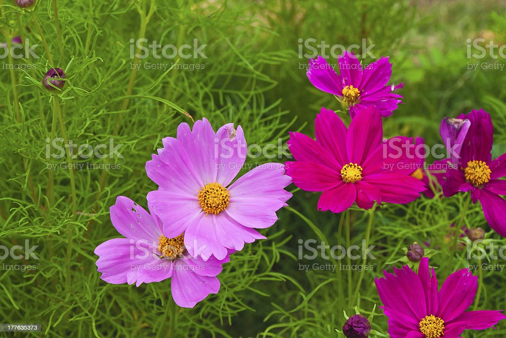 Close up of garden cosmos or Mexican aster flowers royalty-free stock photo