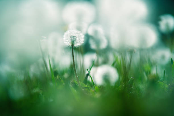 Close up of garden with one focused and blurry dandelions lightened by sun stock photo