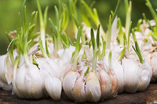 close up of garlic cloves sprouting on table - garlic stock photos and pictures