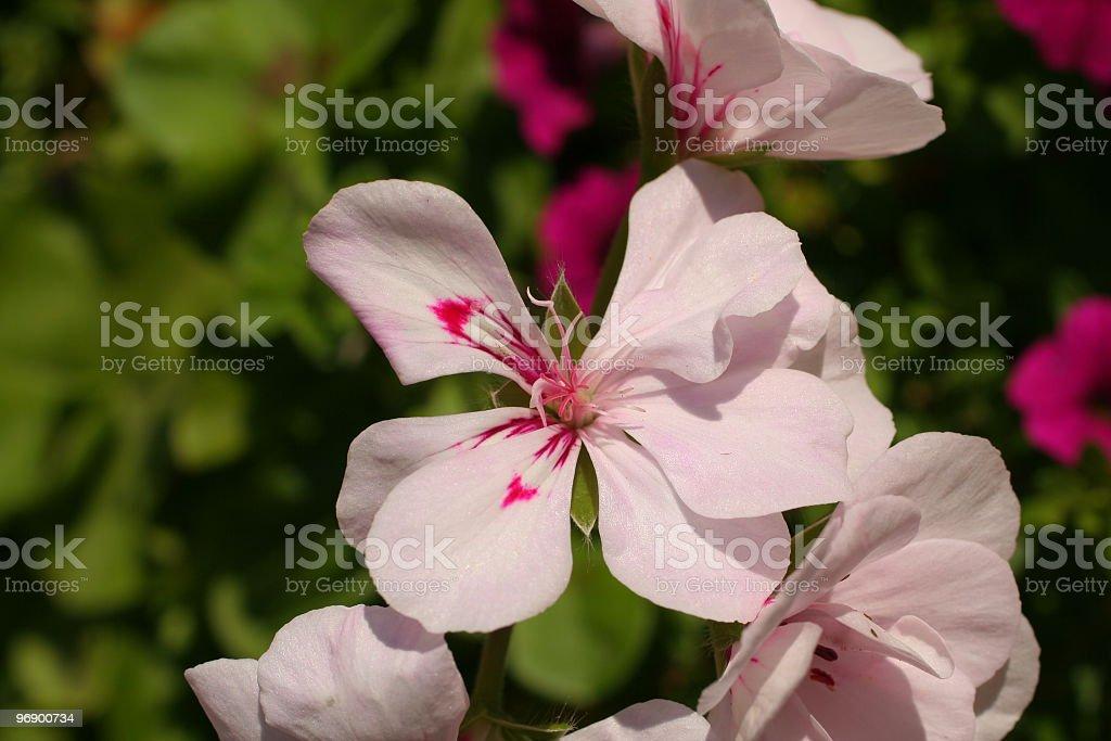 Close up of Geranium royalty-free stock photo